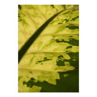 Close-up Picture of Spotted Dumb Cane Poster