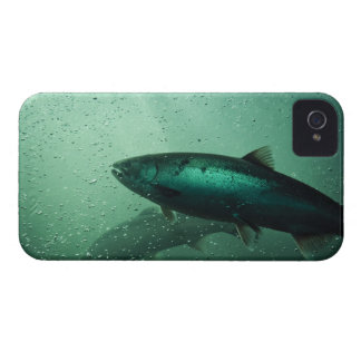 Close up shot of salmon running 2 iPhone 4 Case-Mate cases