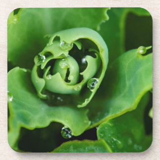 Close-up, succulent plant with water droplets beverage coasters
