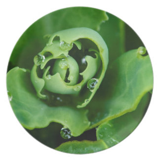 Close-up, succulent plant with water droplets plate