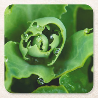 Close-up, succulent plant with water droplets square paper coaster