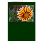 Close Up Tiger Gazania in Red, Gold and Green