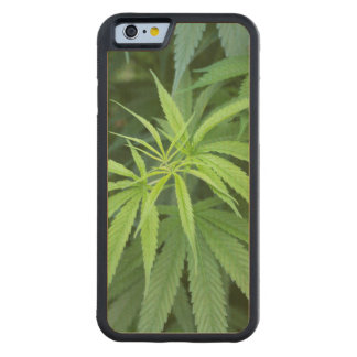 Close-Up View Of Marijuana Plant, Malkerns Carved® Maple iPhone 6 Bumper