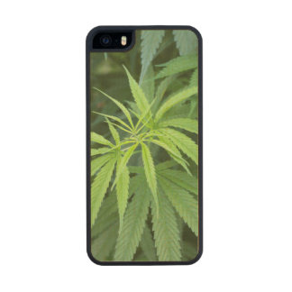 Close-Up View Of Marijuana Plant, Malkerns Carved® Maple iPhone 5 Case