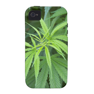 Close-Up View Of Marijuana Plant, Malkerns Vibe iPhone 4 Case