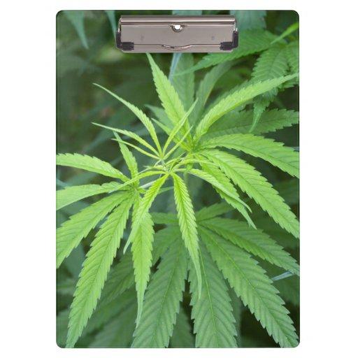 Close-Up View Of Marijuana Plant, Malkerns Clipboards