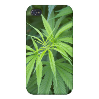 Close-Up View Of Marijuana Plant, Malkerns iPhone 4/4S Cover