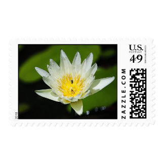 Close-up White Water Lily Flower and Bee Postage