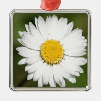 Closeup Of A Beautiful Yellow And Wild White Daisy Silver-Colored Square Decoration