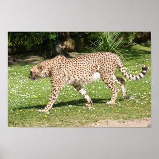 Closeup of African Cheetah Poster