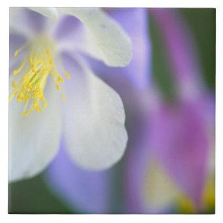 Closeup of Colorado Columbine flower. Tile
