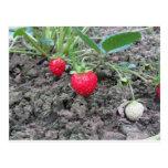 Closeup of fresh organic strawberries in the garde postcard