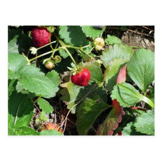 Closeup of fresh organic strawberries postcard