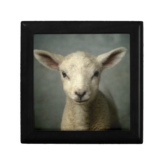 Closeup of new born lamb with grey background. gift box
