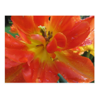 Closeup of orange tulip with droplets in spring postcard