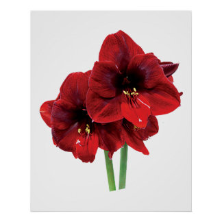 Closeup of Red Amaryllis Poster