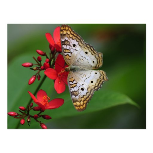 Closeup of white butterfly post card