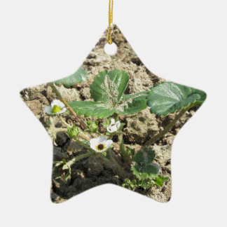 Closeup of young strawberry plant in blossom ceramic star decoration