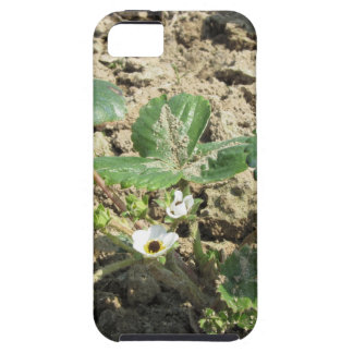 Closeup of young strawberry plant in blossom iPhone 5 cases