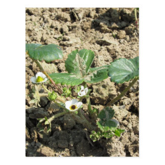 Closeup of young strawberry plant in blossom postcard