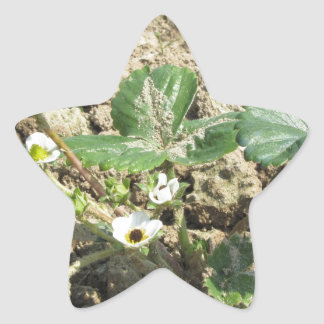 Closeup of young strawberry plant in blossom star sticker