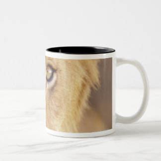 Closeup portrait of a young male lion lying coffee mugs