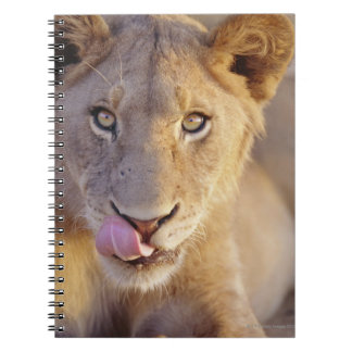 Closeup portrait of a young male lion lying notebooks