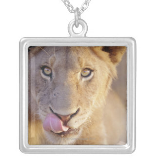 Closeup portrait of a young male lion lying silver plated necklace