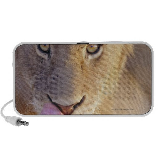 Closeup portrait of a young male lion lying notebook speakers