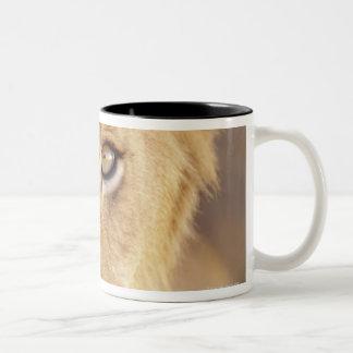 Closeup portrait of a young male lion lying Two-Tone coffee mug
