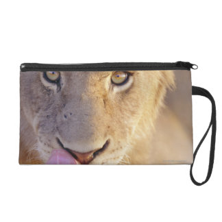Closeup portrait of a young male lion lying wristlet