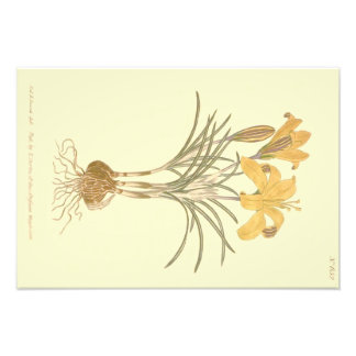 Cloth of Gold Crocus Illustration Art Photo