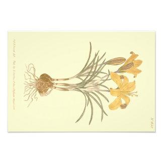 Cloth of Gold Crocus Illustration Photo Print