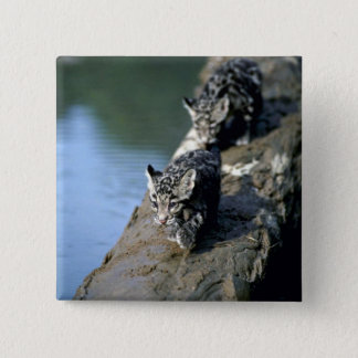 Clouded Leopards-small cubs on log in river 15 Cm Square Badge
