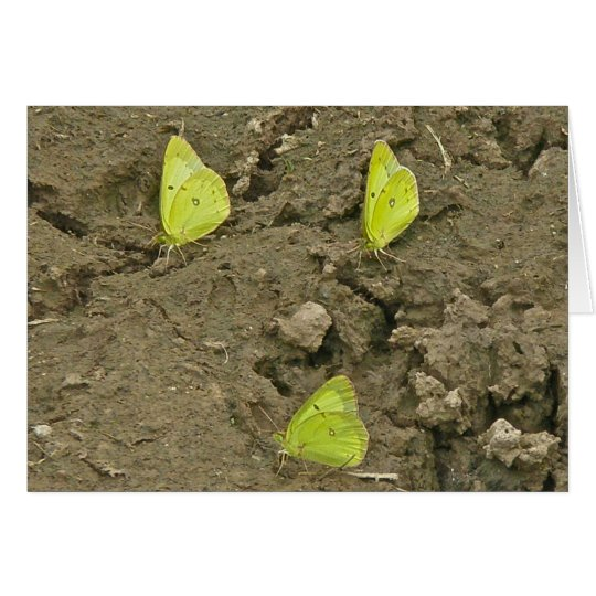 Clouded Sulpher Butterflies Mud-Puddling Note Card