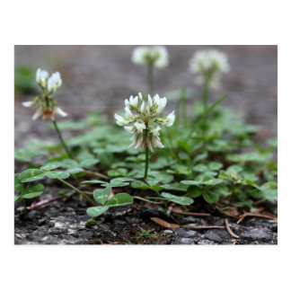 Clover on a tared road. postcard