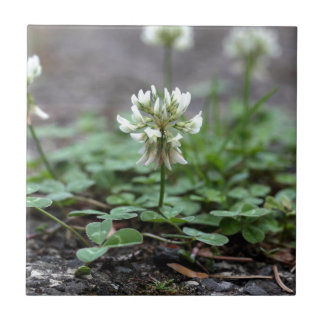 Clover on a tared road. small square tile