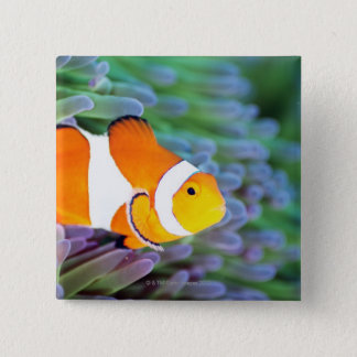Clown anemonefish 15 cm square badge