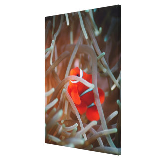Clown anemonefish 2 canvas print
