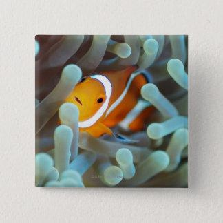 Clown anemonefish 3 15 cm square badge