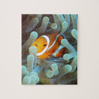 Clown anemonefish 3 jigsaw puzzle
