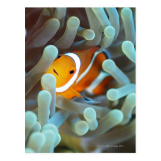 Clown anemonefish 3 postcard