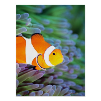 Clown anemonefish 3 poster