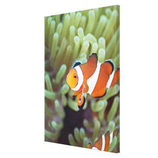 Clown anemonefish 4 canvas print