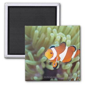 Clown anemonefish 4 magnet