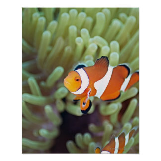 Clown anemonefish 4 poster