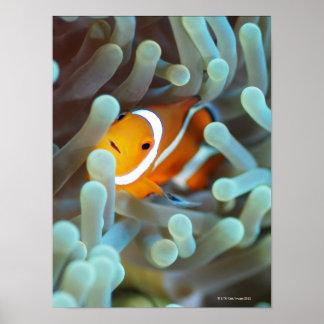 Clown anemonefish poster