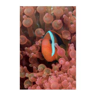 Clown Fish Among Anemones Acrylic Wall Art