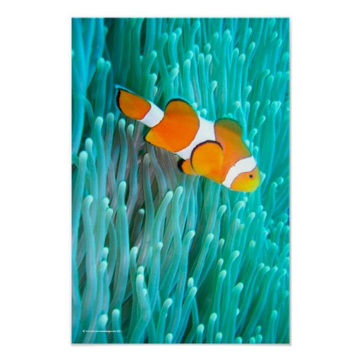Clown Fish Poster