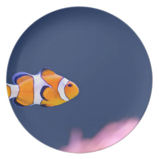 Clown fish swims in blue water with pink anemone plate